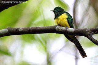 African Emerald Cuckoo.jpg