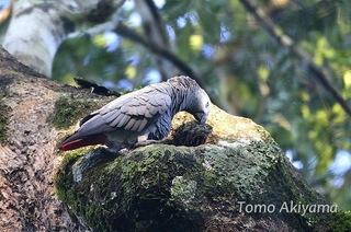 秋山さん African Grey Parrot ちいさい.jpg