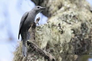 Grey cuckoo shrike.jpg