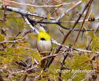 Yellow breasted Apalis small.jpg