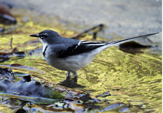 wagtail.png